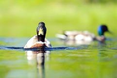 Ducken Sie sich am See an einem sonnigen Sommertag Stockbilder
