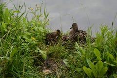 Ducken Sie sich und ihre Entlein, die auf der Bank des Sees sitzen Stockbilder