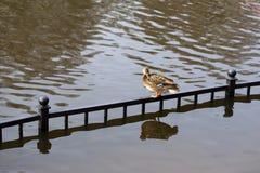 Ducken Sie Stellung auf dem Zaun im Teich Lizenzfreie Stockbilder