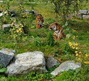 Duckender Tiger, versteckter Drache stockfoto