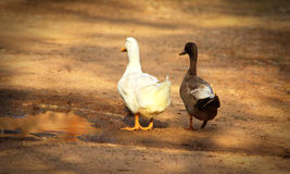 Duckes. These ducks are loving each other Stock Photo