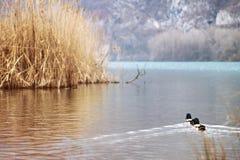 Duckes está nadando en el agua fotografía de archivo libre de regalías