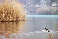 Duckes are swimming on the water royalty free stock photography