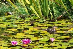Duckie в пруде Стоковая Фотография RF