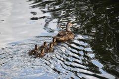 Duckies в ряд Стоковые Изображения RF