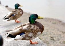 duckies Lizenzfreie Stockbilder