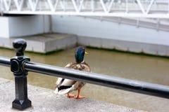 duckies Stockfotografie
