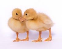 duckies Royaltyfria Bilder