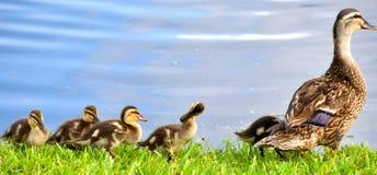 Duckies dans une rangée Images stock