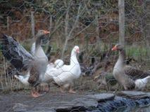Duckies, das im Hinterhof eines Bauernhofes spielt Lizenzfreies Stockbild