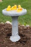 Duckies di gomma in un bagno dell'uccello Fotografia Stock Libera da Diritti