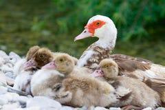 Duckies dichtbij mum Stock Fotografie