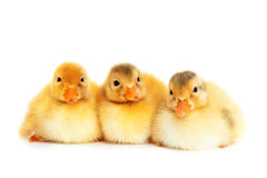 Duckies isolated Stock Image