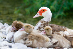 Duckies near mum Stock Photography