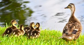 Duckies in a Row. Momma duck swimming with chicks all in a row Stock Image