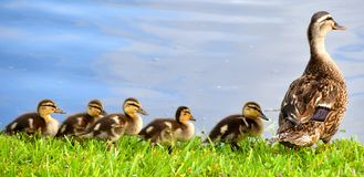 Duckies in a Row. Momma duck swimming with chicks all in a row Royalty Free Stock Photos