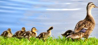 Duckies in a Row. Momma duck swimming with chicks all in a row Stock Images