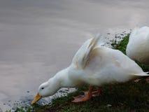 Ducking для питья Стоковые Фотографии RF