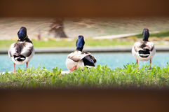 Ducking around. Ducks sitting at the edge of a man made lake in Corona, CA at the Dos Lagos shopping center. They are being viewed between a bamboo fence Royalty Free Stock Image