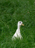 Ducking in Grass Stock Photo