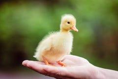 Ducklin在一个人的手上 库存图片