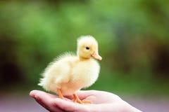 Ducklin i en mans hand Royaltyfria Bilder