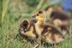 Duckling. Little duckling near small lake Royalty Free Stock Photo