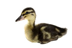 Free Duckling. Stock Photography - 13641642
