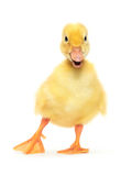 Duckling stock photography