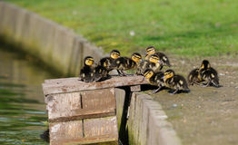 Duckling Royalty Free Stock Photography