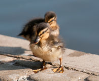 Duckling Royalty Free Stock Photo