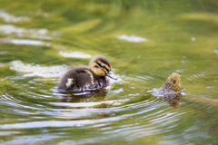 Duckling. A small young duckling in the spring Stock Photography