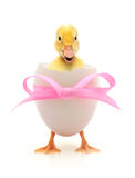 Duckling. Coming out of a white egg Royalty Free Stock Photography