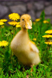 Duckling. Sitting in the green grass and dandelions Royalty Free Stock Images