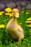 duckling Royaltyfria Bilder