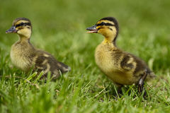 Duckling 2 Stock Image