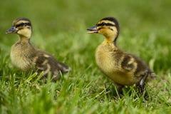 duckling 2 Fotografering för Bildbyråer