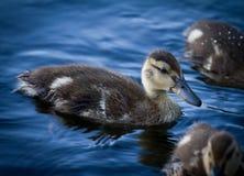 duckling Arkivbilder