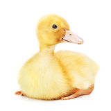 duckling Royaltyfria Foton