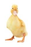 duckling Royaltyfri Fotografi