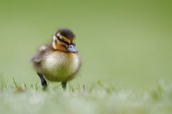 Duckling. A duckling all alone in a field of green Royalty Free Stock Photos
