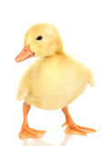 Duckling. Over the white background Stock Photo
