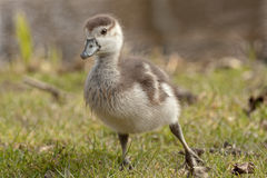 Duckling. Duck walking on the grass Stock Photography
