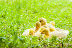 Duckling. Young freshly newborn duckling grouping and sitting in fresh green grass home garden Stock Images