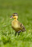 Duckling 3. Photograph of a duckling in farmyard Royalty Free Stock Photography