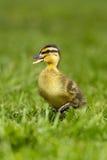 duckling 3 Royaltyfri Fotografi