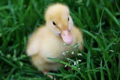 duckling Arkivfoton