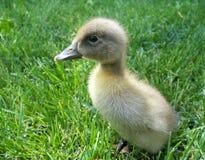 duckling Fotografering för Bildbyråer