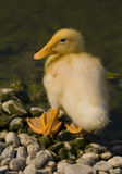 Duckling. Close up on duckling near a lake Royalty Free Stock Image