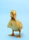 Duckling Stock Images